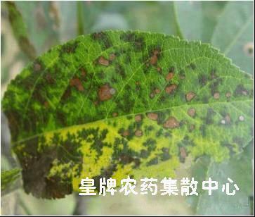苹果褐斑病(叶病)
