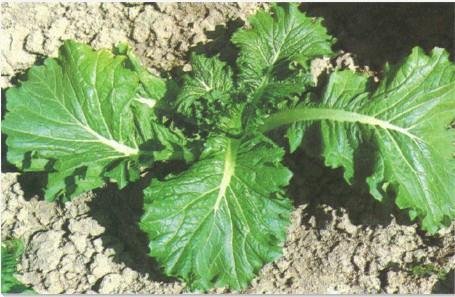 白菜根系和叶脉结构图